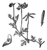птицы ноги трилистник или lotus corniculatus винтаж гравировка — Cтоковый вектор