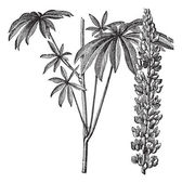 Large-leaved lupine or Lupinus polyphyllus vintage engraving — Vettoriale Stock