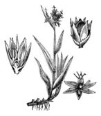 Field Wood-rush or Luzula campestris vintage engraving — Stock Vector