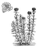 Jerusalem Cross flower or Lychnis chalcedonica vintage engraving — Stock Vector