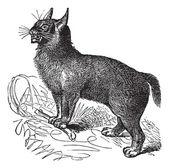 Canada Lynx or Lynx canadensis vintage engraving — Stock Vector