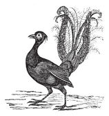 Superb Lyrebird or Menura novaehollandiae vintage engraving — Stock Vector