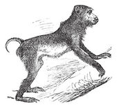Pig-tailed macaque or Macaca nemestrina vintage engraving — Stock Vector