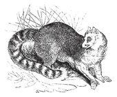Ring-tailed lemur or Lemur catta vintage engraving — Stock Vector