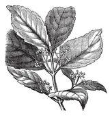 Yerba mate or Ilex paraguariensis vintage engraving — Stock Vector