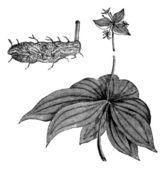 Medeola virginiana of indiase komkommer-wortel, vintage gravure — Stockvector