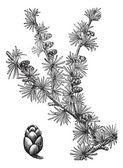 Tamarack (Larix Americana) or Hackmatack, vintage engraving — Stock Vector