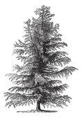 European larch (Larix Europaea) or Larix decidua, vintage engrav — ストックベクタ