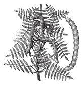 Mesquite (Prosopis glandulosa) or Honey Mesquite, vintage engrav — Stock Vector