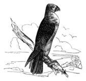 Milan Carolina (Falco furcatus), vintage engraving. — Stock Vector
