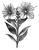 Myrtle or Myrtus communis, vintage engraved illustration — Stock Vector