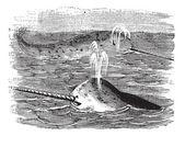 Narwhal or Monodon monoceros, vintage engraved illustration — Stock Vector