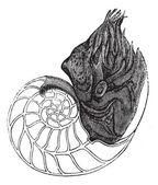 Chambered Nautilus or Nautilus pompilius, vintage engraved illus — Stock Vector