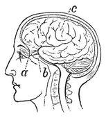 Optic Nerve, vintage engraved illustration — Stock Vector