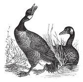 Canadian Goose (Bernicla Canadensis) vintage engraving — Stock Vector
