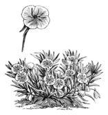 Oenothera missouriensis or Missouri Evening Primrose or Ozark Su — Stock Vector