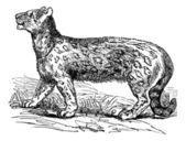 Snow leopard, Uncia uncia, Leopardus uncia or Panthera uncia, vi — Stock Vector