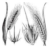 Common barley or Hordeum vulgare, Barley hinge or Hordeum distic — Stock Vector