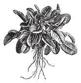 Garden sorrel or Rumex acetosa or Common Sorrel. Variety called — Stock Vector
