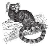 Common marmoset (Hapal jacchus), vintage engraving — Stock Vector