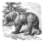 Cinnamon Bear (Ursus occidentalis), vintage engraving — Vector de stock