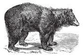 American Black bear (Ursus americanus), vintage engraving — Stock Vector