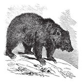 JACK Bear (Ursus horribilis), vintage engraving — Stock Vector