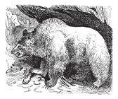 Syria bears (Ursus isabellinus), vintage engraving — Stock vektor