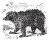 Asian bear (Ursus labiatus), vintage engraving — Stockvektor