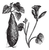 Sweet Potato or Ipomoea batatas, vintage engraving — Stock vektor
