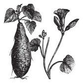 サツマイモやサツマイモのサツマイモ、ヴィンテージの彫刻 — ストックベクタ