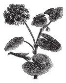 Geranio o storksbill o pelargonium sp., vintage grabado — Vector de stock