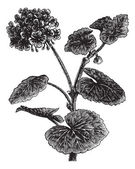Geranium oder storksbill oder pelargonium sp., jahrgang gravur — Stockvektor