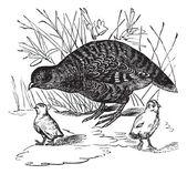 Grey Partridge or Perdix perdix, vintage engraving — Stock Vector