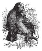 玫瑰环绕鹦鹉或 ringnecked 鹦鹉或 psittacula 克莱默 — 图库矢量图片