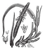 Timothy-grass (Phleum pratense), vintage engraving — Vettoriale Stock