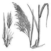 Common reed (Phragmites communis), vintage engraving — Stock Vector