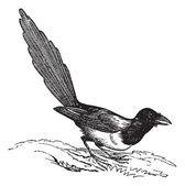 Black-billed Magpie (Pica hudsonia), vintage engraving. — Stock Vector