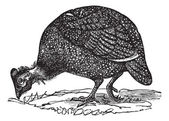Common guinea fowl (Numida meleagris), vintage engraving. — Stockvector