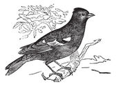 Pinson ordinary (Fringilla coelebs) or Chaffinch, vintage engrav — Stock Vector