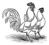 Male and female of White Leghorns (chicken) vintage engraving — Stock Vector