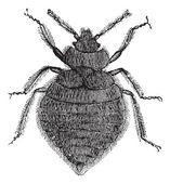 Bed bugs (Cimex lectularius) or Cimicidae, vintage engraving. — Stock Vector