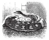 Python samica wysiaduje jaja, grawerowanie vintage. — Wektor stockowy