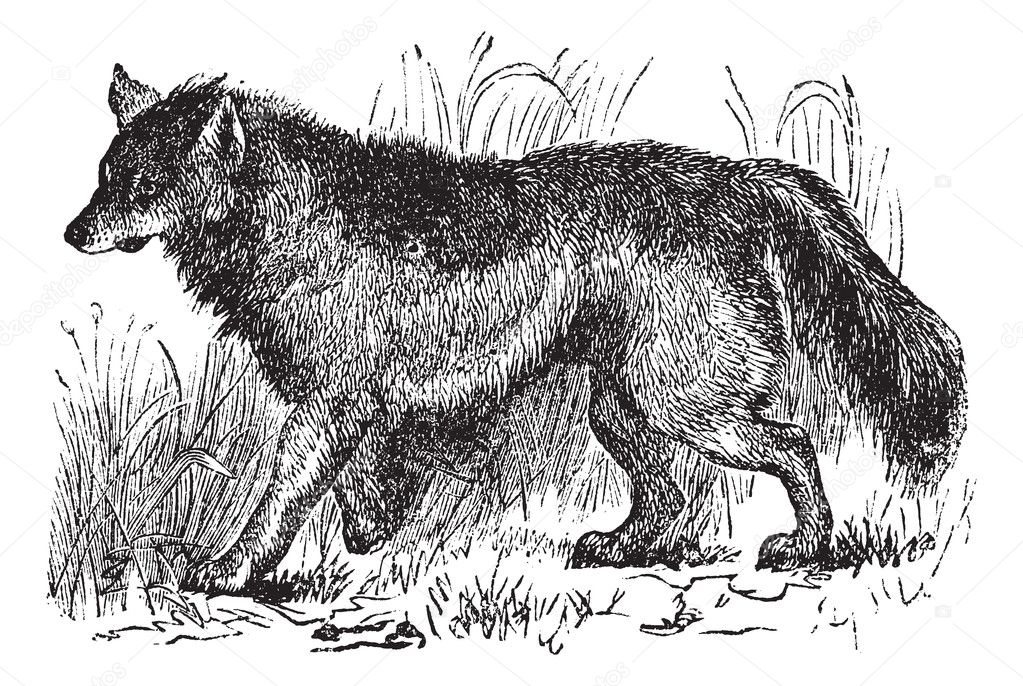 Coyote or Canis latrans or American jackal or Prairie wolf, vintage engraving. Old engraved illustration of Coyote walking in the meadow. — Векторная иллюстрация #6751222