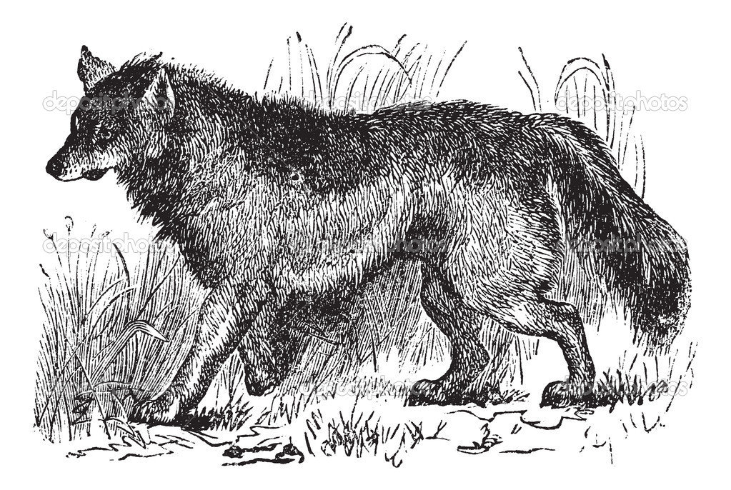 Coyote or Canis latrans or American jackal or Prairie wolf, vintage engraving. Old engraved illustration of Coyote walking in the meadow. — Imagens vectoriais em stock #6751222