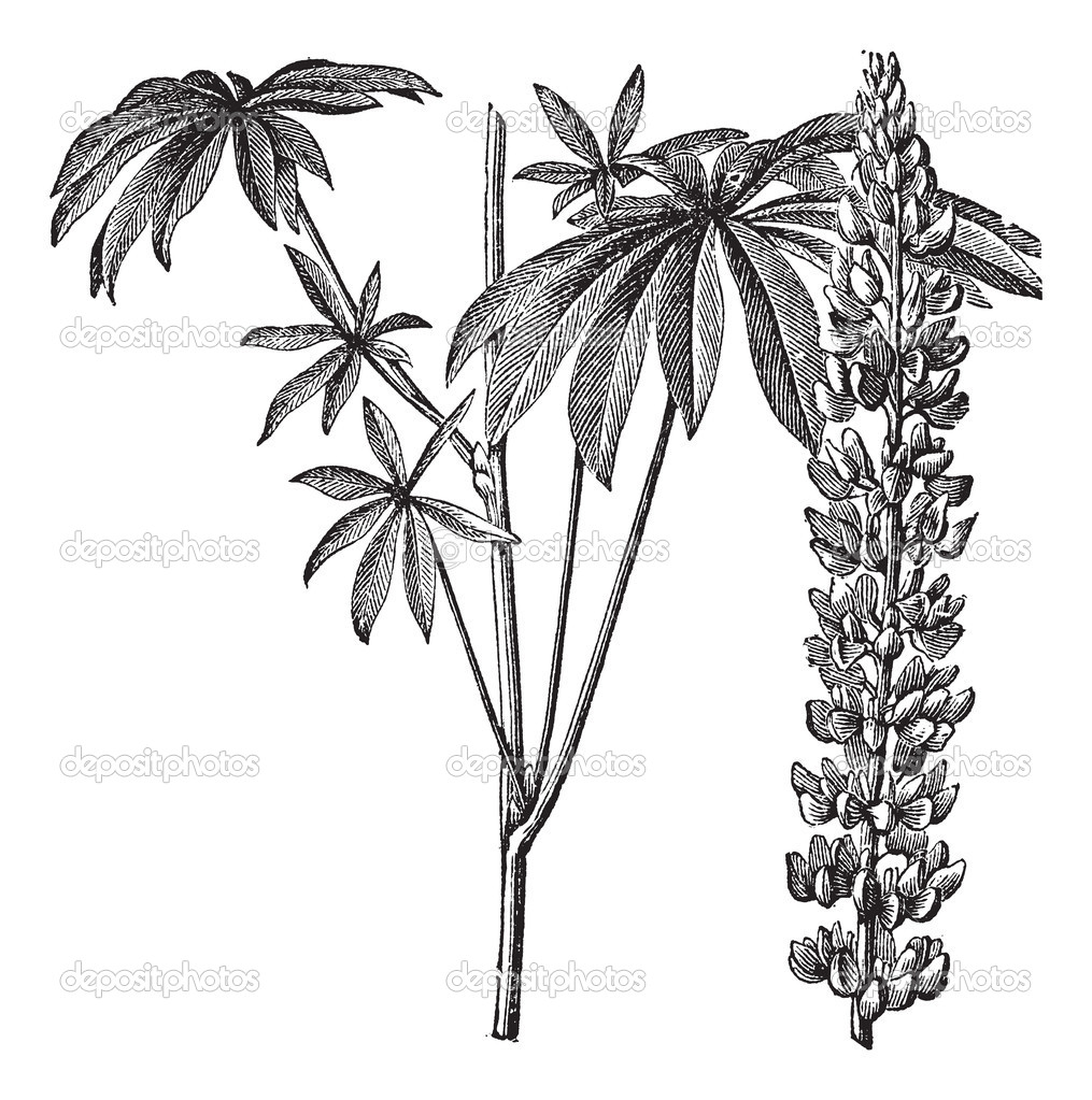 Large-leaved lupine or Lupinus polyphyllus or Big-leaved lupine or Garden lupin or Russell lupin, vintage engraving. Old engraved illustration of Large-leaved l — Stock Vector #6751243
