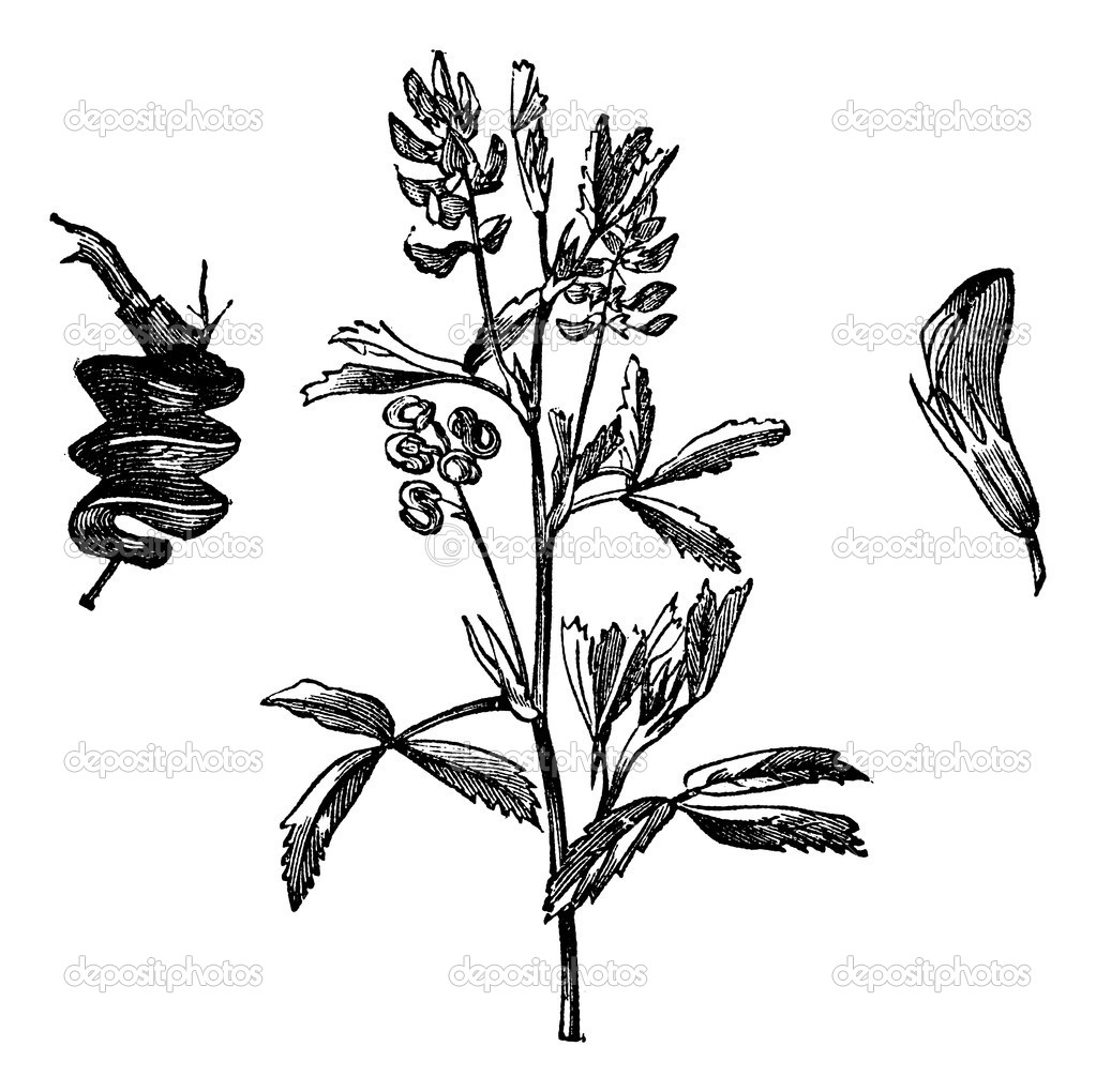 Alfalfa or Medicago Sativa or Lucerne or Lucerne Grass, vintage engraving. Old engraved illustration of Alfalfa isolated on a white background.  — Stock Vector #6751245