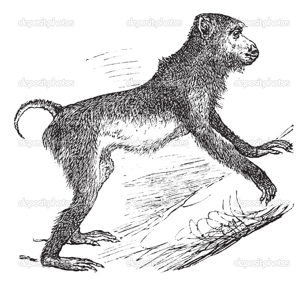 Pig-tailed macaque or Macaca nemestrina, vintage engraving. Old engraved illustration of Pig-tailed macaque climbing on the tree. — Stock Vector #6751262