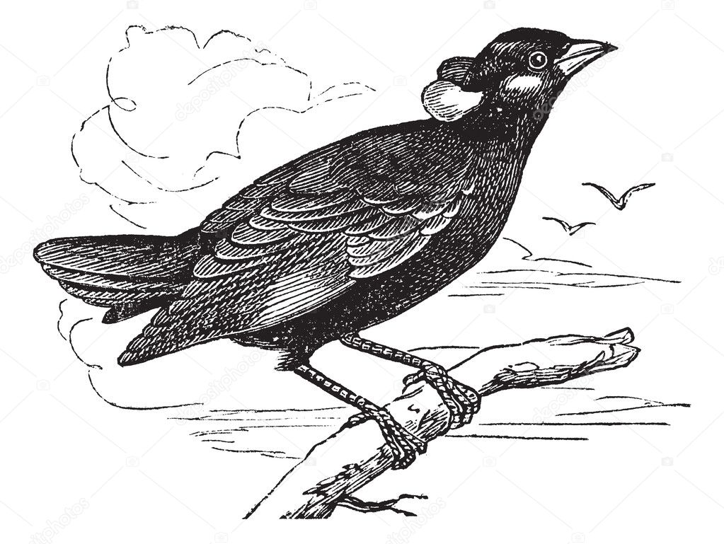 Common Hill Myna or Gracula religiosa or Mynah or Hill Myna, vintage engraving. Old engraved illustration of Common Hill Myna waiting on a branch and two other  — Stock Vector #6751279