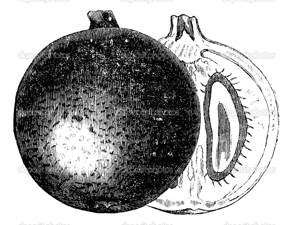 Mammee apple or Mammea americana or Mammee or Mamey or Mamey apple or Santo Domingo apricot or South American apricot, vintage engraving. Old engraved illustrat — Stock Vector #6751287